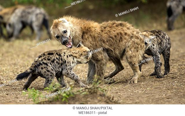 Spotted hyena puppy in a play fight with a male adult in Masai Mara
