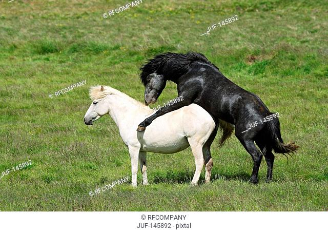 two Icelandic horses on meadow