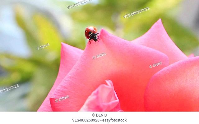 Ladybug in the rose