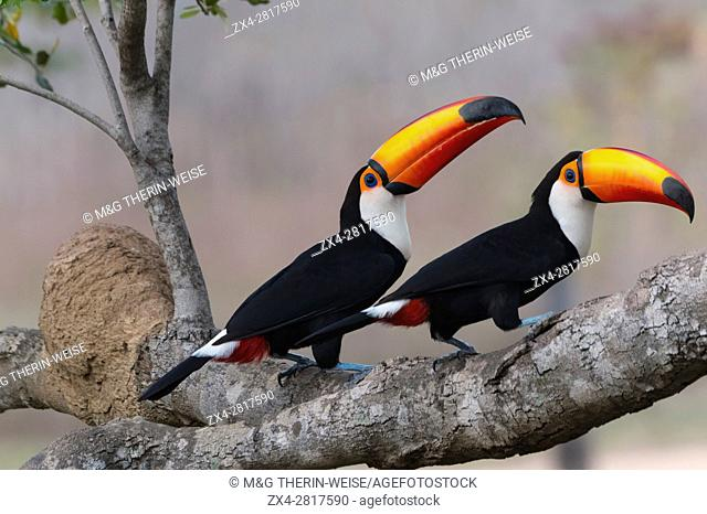 Pair of Toco Toucan (Ramphastos toco), Pantanal, Mato Grosso, Brazil