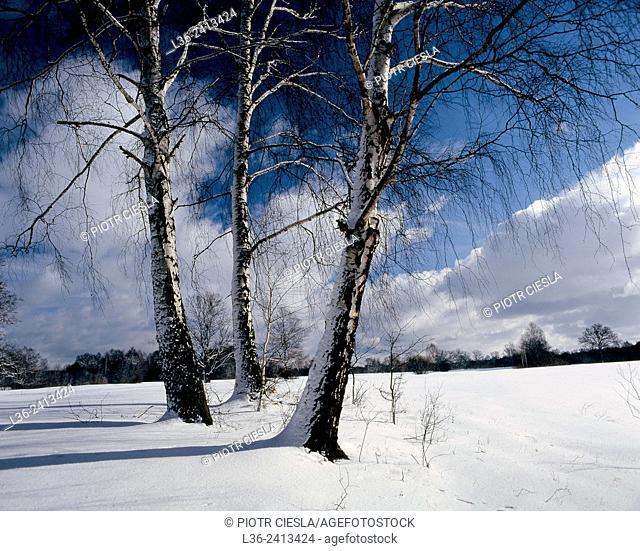 Birch trees in winter. Podlasie region. Poland