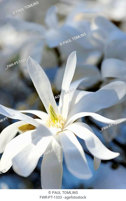 Magnolia, Magnolia stellata, Close side view of one sunlit white flower with several long graceful petals and yellow stamens and stigma
