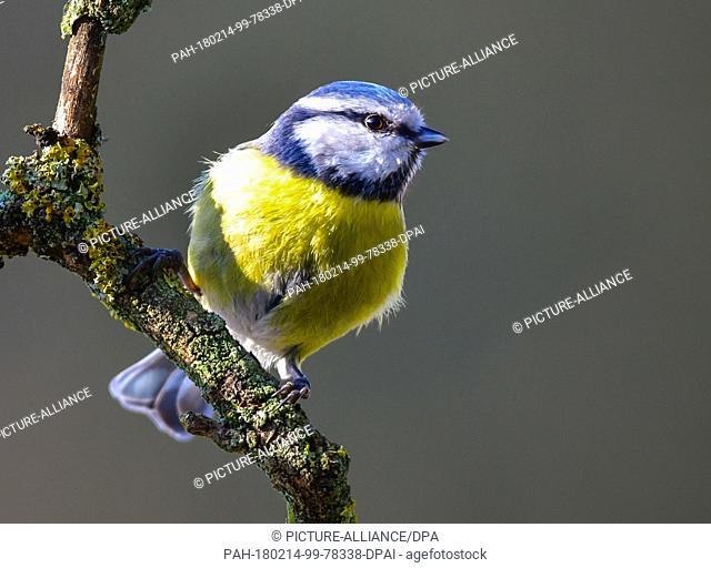 13 February 2018, Germany, Sieversdorf: A blue tit (Cyanistes caeruleus) rests on a tree branch. - NO WIRE SERVICE - Photo: Patrick Pleul/dpa-Zentralbild/ZB