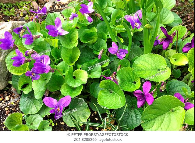 Blooming perfume violets Viola odorata on a spring day in Berlin - Germany