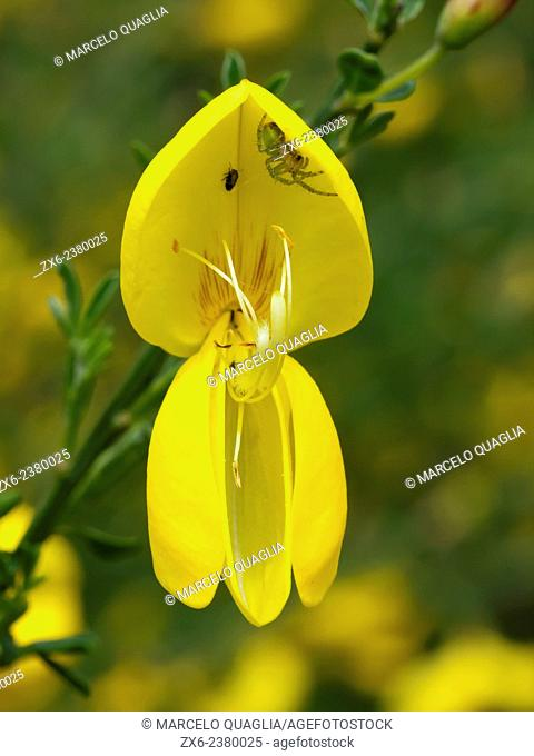 Small spider inside Broom flower (Cytisus scoparius). Montseny Natural Park. Barcelona province, Catalonia, Spain