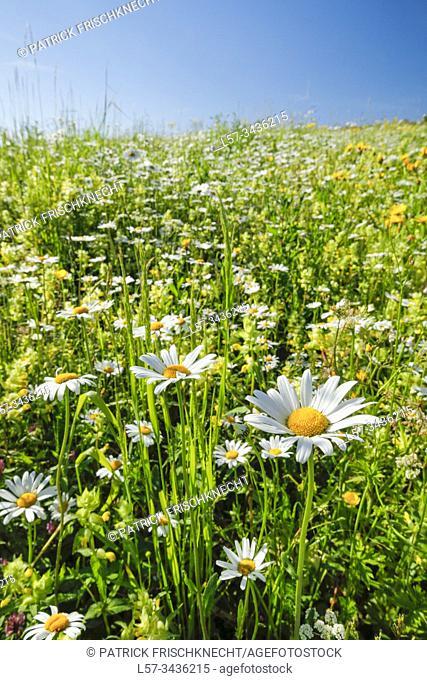 Flower meadow, Zuerich Oberland, Switzerland