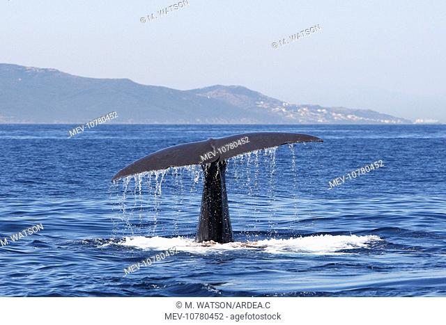 Sperm Whale - diving. (Physeter macrocephalus)
