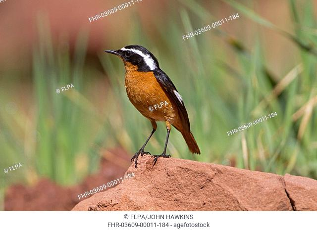 Moussier's Redstart (Phoenicurus moussieri) adult male, breeding plumage, perched on rock, Morocco, March