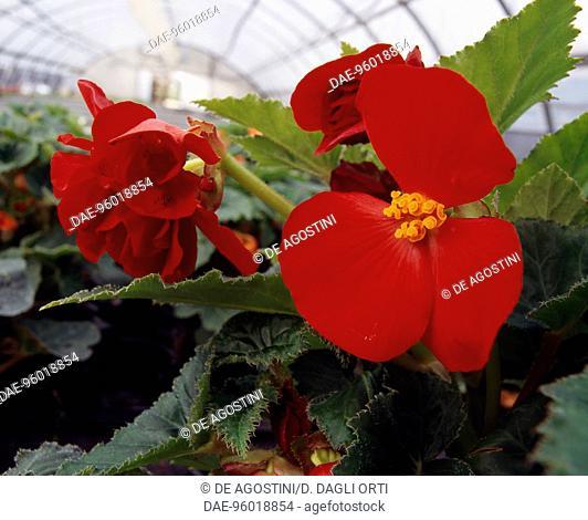 Begonia (Begonia semperflorens), Begoniaceae