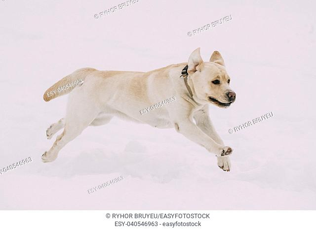 Funny Labrador Dog Playing Running Outdoor In Snow, Winter Season. Playful Pet Outdoors