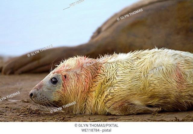 Newborn grey seal pup Halichoerus grypus on the beach at Donna Nook, Lincolnshire, England