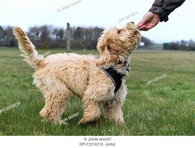 A dog eating a treat from the owner's hand; South Shields, Tyne and Wear, England