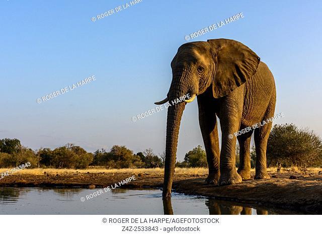 African bush elephant (Loxodonta africana) drinking at a waterhole. Mashatu Game Reserve. Northern Tuli Game Reserve. Botswana
