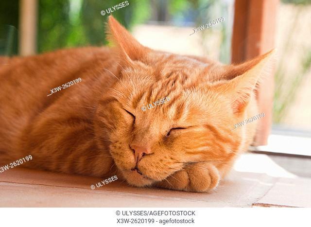 sleeping cat, Fuerteventura island, Canary archipelago, Spain, Europe