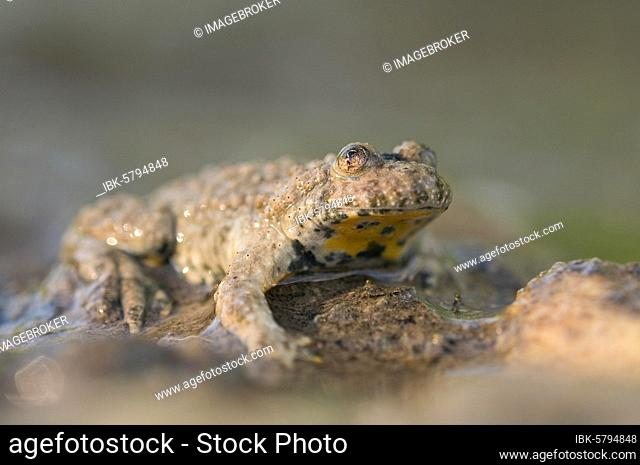 Yellow-bellied toad (Bombina variegata) sitting on the edge of a pond, Bavaria, Germany, Europe
