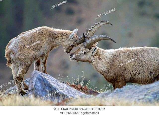 Stelvio National Park,Lombardy,Italy. Ibex