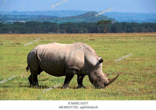 Northern White Rhinoceros (Ceratotherium simum cottoni), also know as square-lipped rhinoceros, grazing on short grass around Lake Nakuru in Kenya