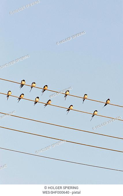 Germany, Unteruhldingen, Flock of barn swallows on power lines