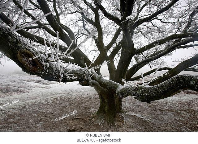 Old oak tree in winterfrost