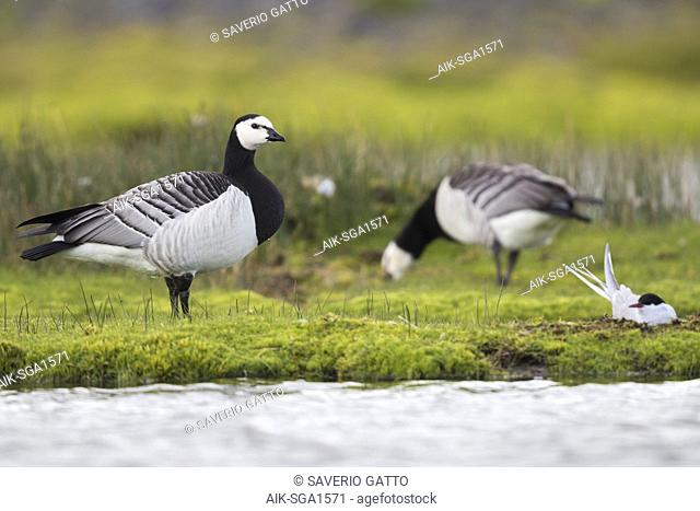 Barnacle Goose (Branta leucopsis), adult standing on the grass close to a nest of Arctic Tern