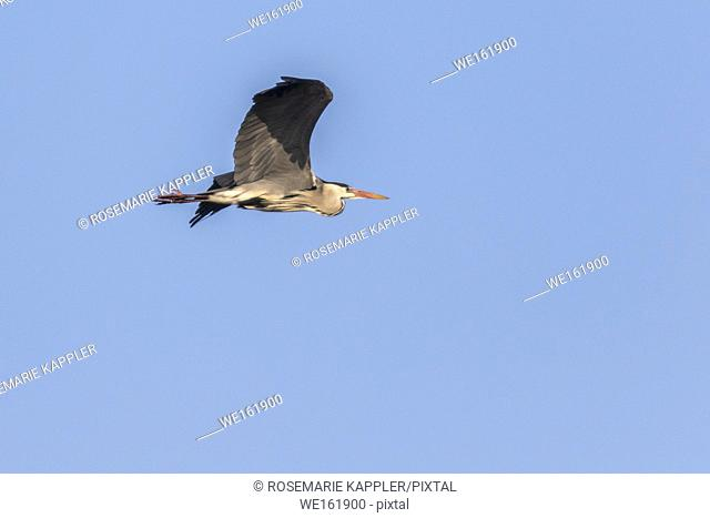 Germany, Saarland, Homburg - Germany, Saarland, Homburg - A grey heron is searching for fodder in Beeder Bruch