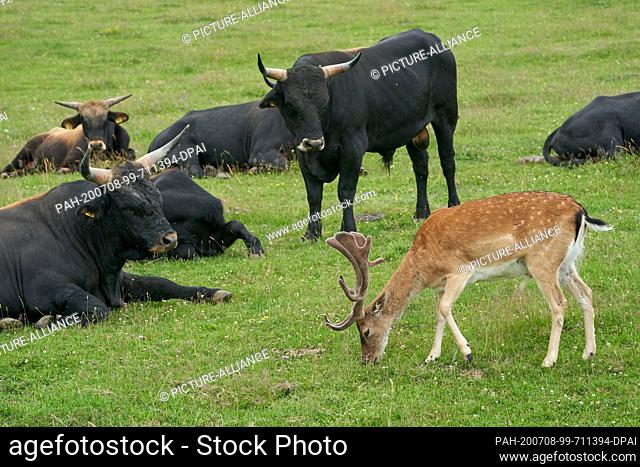 05 July 2020, Rhineland-Palatinate, Koblenz: A fallow deer from the forest has been joining a herd of Heck cattle for a good year