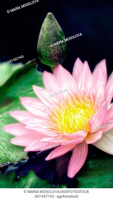 Pink Waterlily and Bud. Nymphaea hybrid. September 2006. Maryland, USA