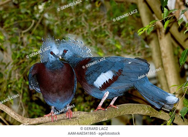 Crowned Pigeon (Goura Victoria) Adults On Branch, Papua New Guinea