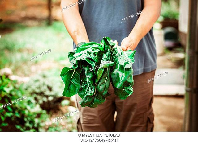 A person holding freshlYes harvested chard
