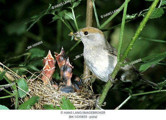 Blackcap (Sylvia atricapilla), female feeding offspring in the nest