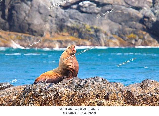 Steller Sea lions Eumetopias jubatus resting on a coast, Inside Passage, Icy Strait, Alaska, USA