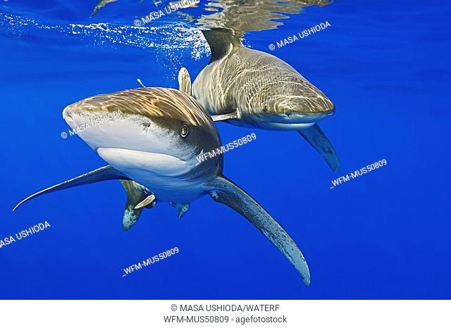 Oceanic Whitetip Sharks, Carcharhinus longimanus, Pacific Ocean, Hawaii, USA