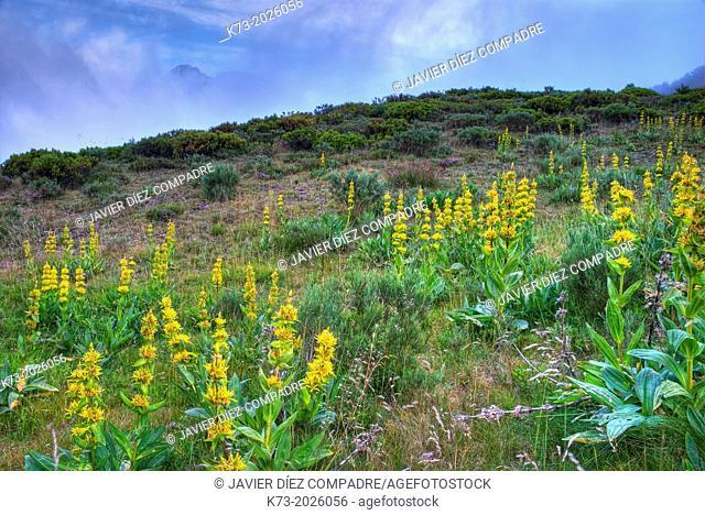 Yellow Gentian (Gentiana Lutea). Valdeon Valley. Picos de Europa National Park. Leon Province. Castilla y Leon. Spain