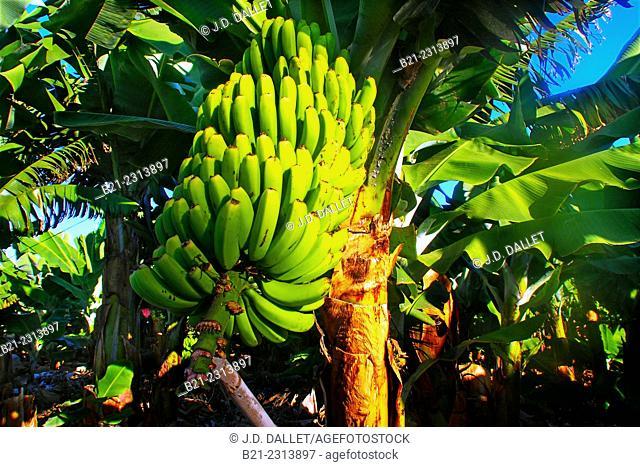Bananas on a tree, Garachico, Tenerife, Canary Islands, Spain