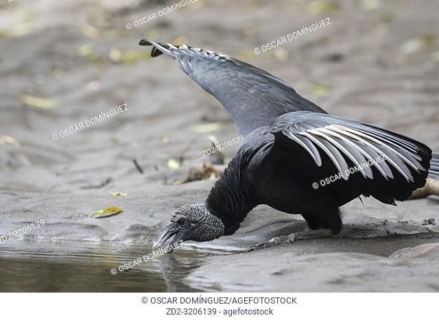 American Black Vulture (Coragyps atratus) drinking on the river bank. Puerto Viejo river. Heredia province. Costa Rica