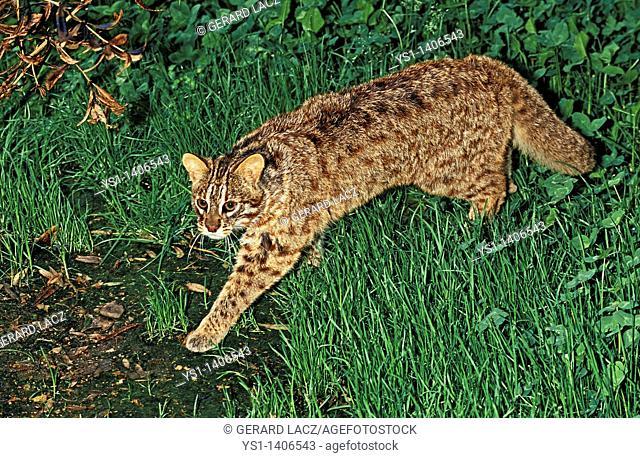 AMUR LEOPARD CAT OR SIBERIAN LEOPARD CAT prionailurus bengalensis euptilura