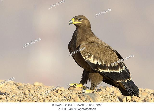 Steppe Eagle, Juvenile perched on the ground, Salalah, Dhofar, Oman (Aquila nipalensis)