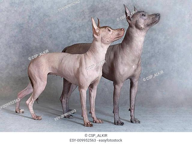 Mexican dog breed Stock Photos and Images | age fotostock