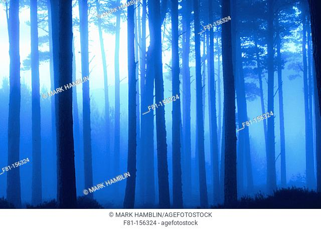 Pine forest in early morning mist, Scotland