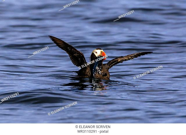 Tufted puffin (Fratercula cirrhata) on the sea, wings stretched with catch, Sitka Sound, Sitka, Southeast Alaska, United States of America, North America