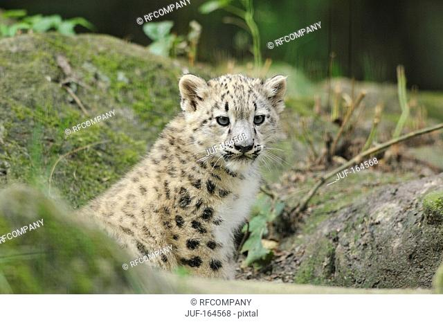 snow leopard - cub / Uncia uncia