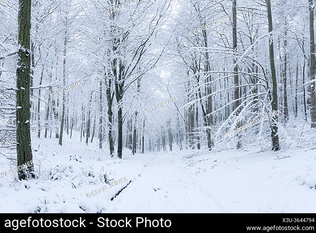 Fresh winter snowfall in a Beech woodland at Rowberrow Warren in the Mendip Hills Area of Outstanding Natural Beauty, Somerset, England
