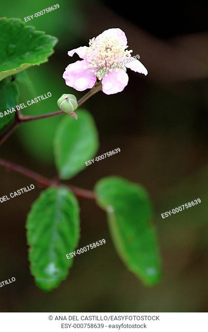 Flowers in Borosa river source  Sierras de Cazorla and Segura natural park  Jaen province  Spain