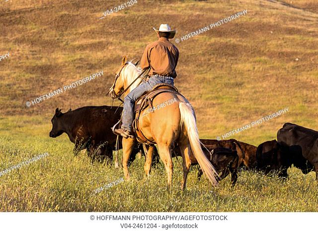 Single wrangler (cowboy) on horse herding cattle, California, USA