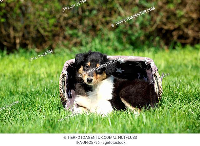 American Collie Puppy