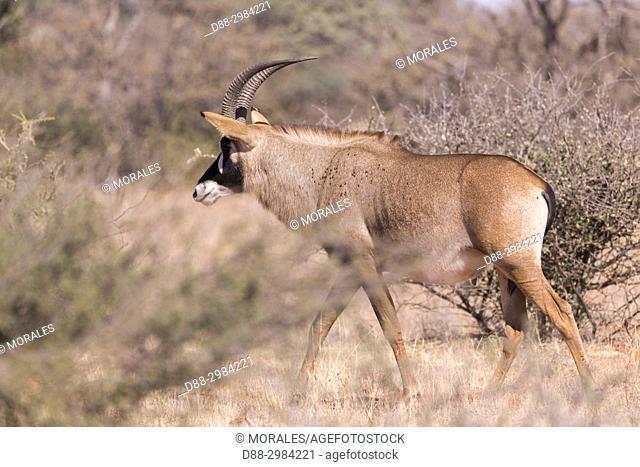 Africa, Southern Africa, South African Republic, Kalahari Desert, Roan antelope (Hippotragus equinus), adult