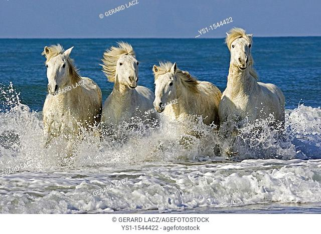 Camargue Horses, Herd Galloping on the Beach, Saintes Marie de la Mer in the South of France