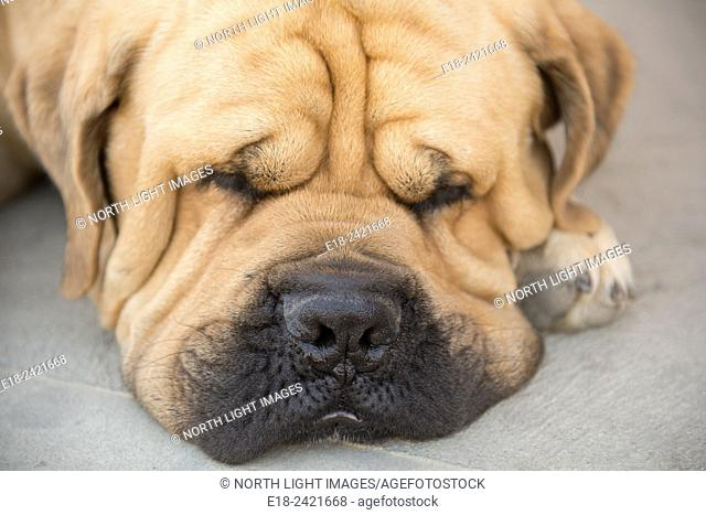 Canada, BC, Oliver. A sad, sleepy looking hound dog, resident of an Okanagan winery