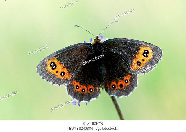 Scotch Argus Erebia aethiops, sittin on, Succisa pratensis, United Kingdom, Scotland, Cairngorms National Park