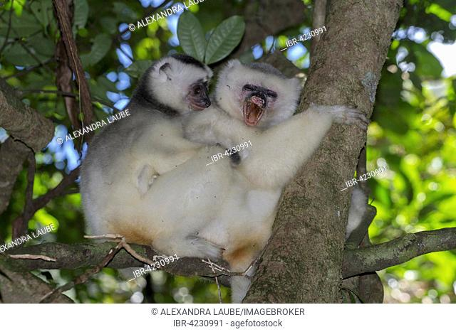 Silky sifaka or silky simpona (Propithecus candidus), female and young, extremely rare, Marojejy Nature Reserve, northeast Madagascar, Madagascar